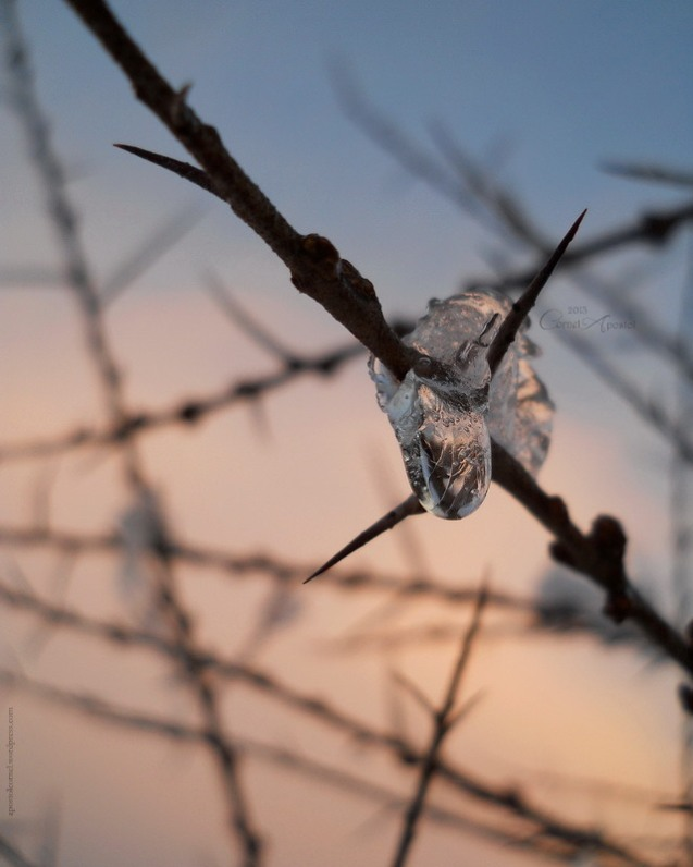 Ice and thorns  1