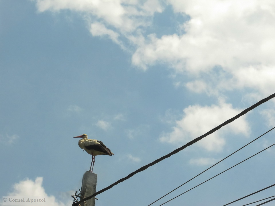 You will notice many times storks standing on poles near their nests.